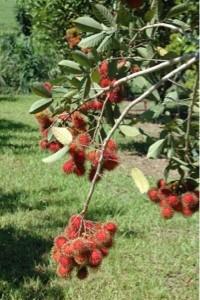 rambutan fruit tree on vines